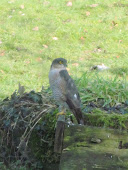 YOUNG MALE SPARROW HAWK