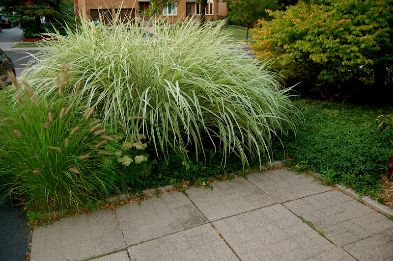 Astrid 39 s garden design ornamental grasses for Tall grass garden
