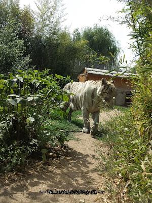 Tigre blanc qui mange de l'herbe dans son enclos à Touroparc