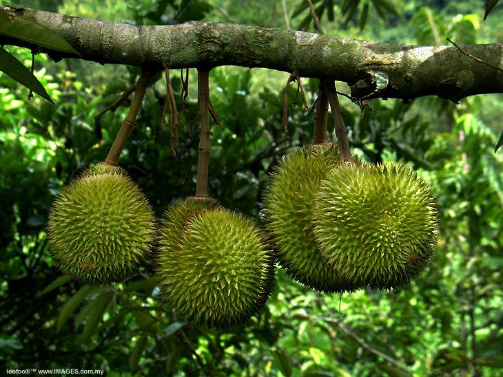 http://2.bp.blogspot.com/-DG4Uck7vc08/T-iZWIZTa-I/AAAAAAAAAHo/4orsHdZIn-4/s1600/durian-indonesia-terancam-punah.jpg