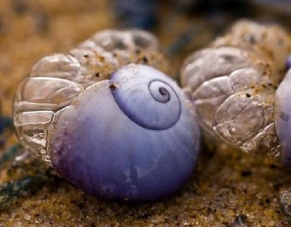 Siput Laut ungu