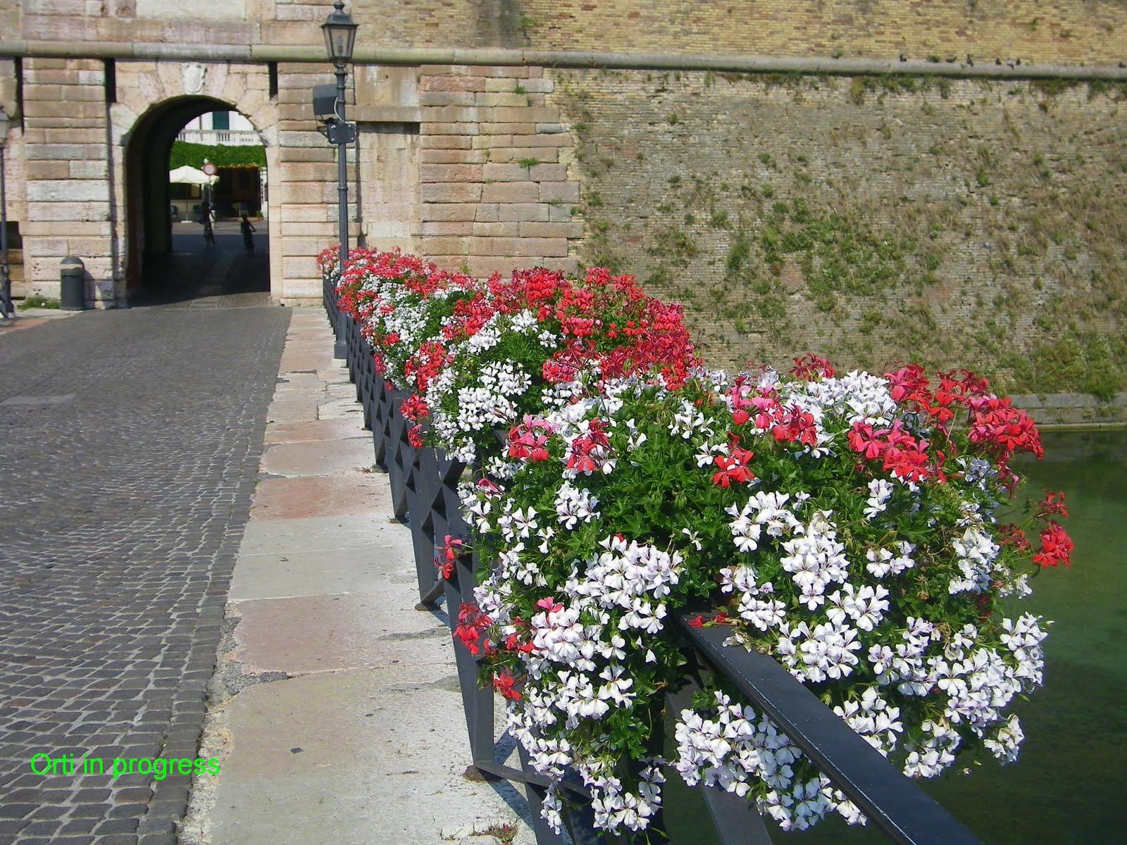Orti in progress gerani tricolori a peschiera del garda for Fiori gerani