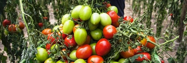 portigal-tomate-