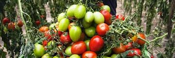 Un centre de compétence de la tomate au Portugal