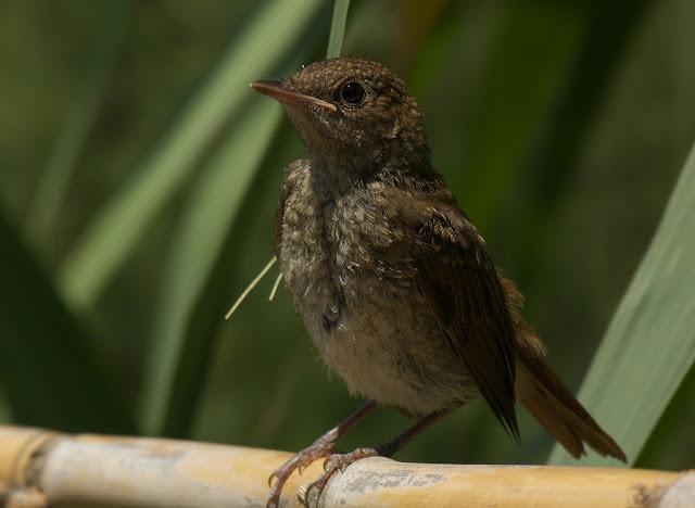 Petirrojo ( Erithacus rubecula )