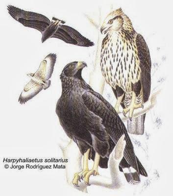 Águila solitaria Harpyhaliaetus Buteogallus solitarius