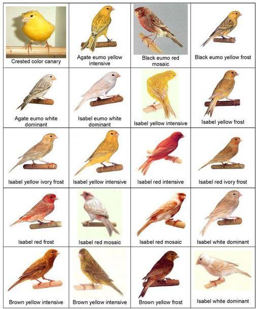 jenis jenis burung kenariJenis Burung Kenari