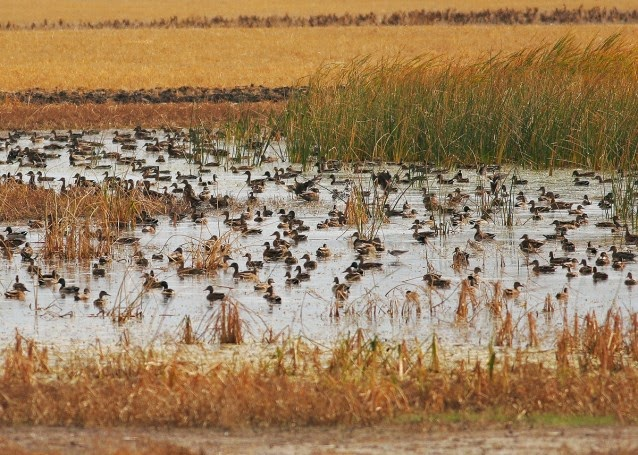 Waterfowl swimming on wetland in North Dakota.  (Credit: AP/North Dakota Game and Fish Department) Click to enlarge.