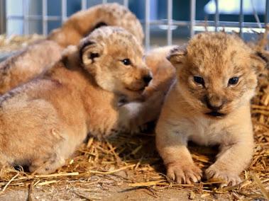 パリ動物公園で生まれたライオンのアトラス,キボ,シャニ