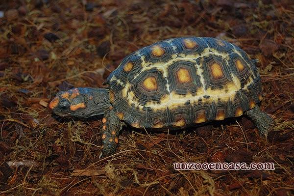 Chelonoidis carbonaria - Morrocoy, tortuga de patas rojas