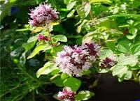 Неприхотливое, растущее повсеместно пряное растение