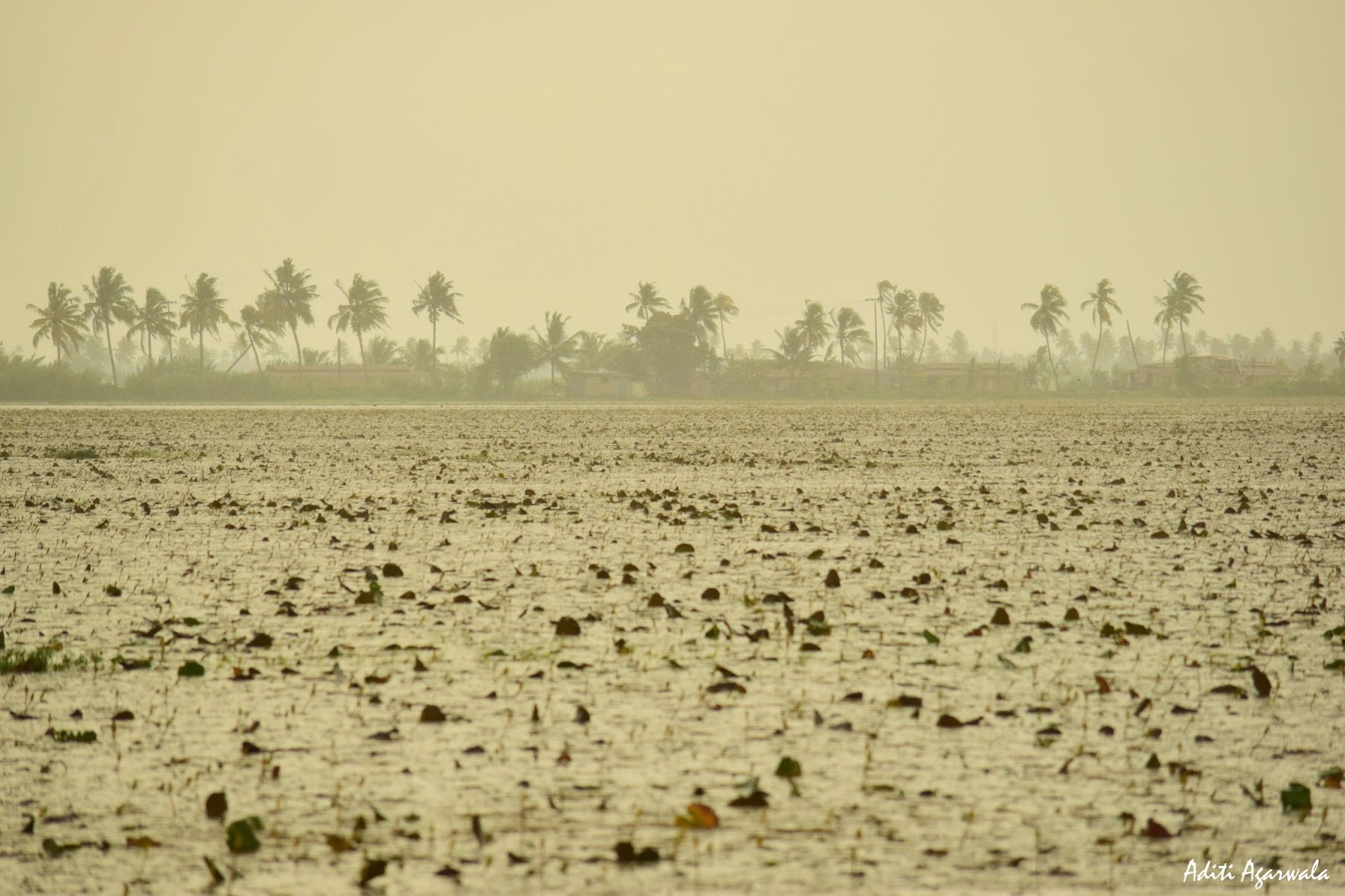 Heavy rains in the season of monsoon adds another charm to the backwaters of Allepey