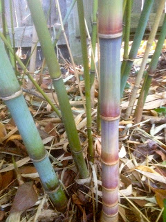 A nice Fall bamboo discovery in the garden…