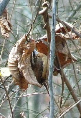 Carolina wren