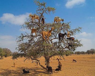 Gambar Dan Video Kambing Panjat Pokok Di Maghribi