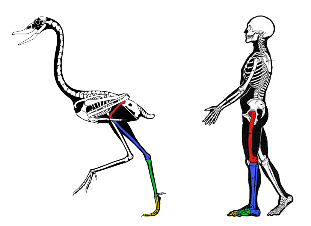 comparative anatomy birds photo