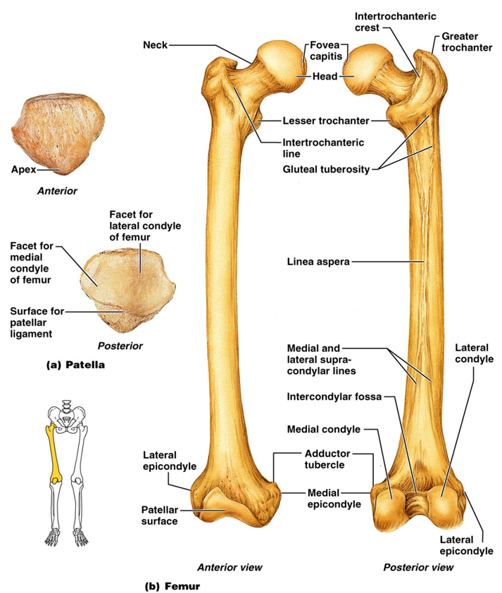 Anatomy bone labeling