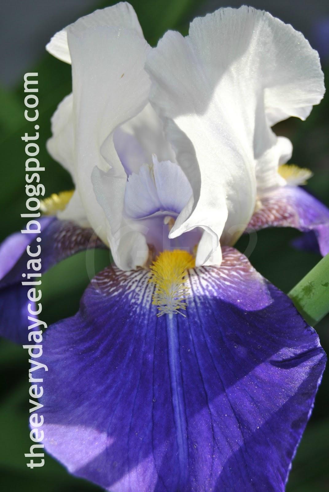 gf 2 the everyday celiac iris in bloom. Black Bedroom Furniture Sets. Home Design Ideas