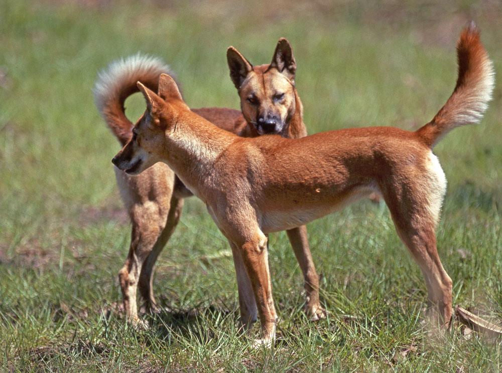 Dingo | The Life of Animals