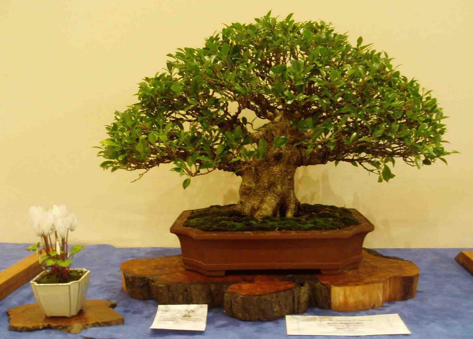 Kigawa39s Bonsai Blog August 2011