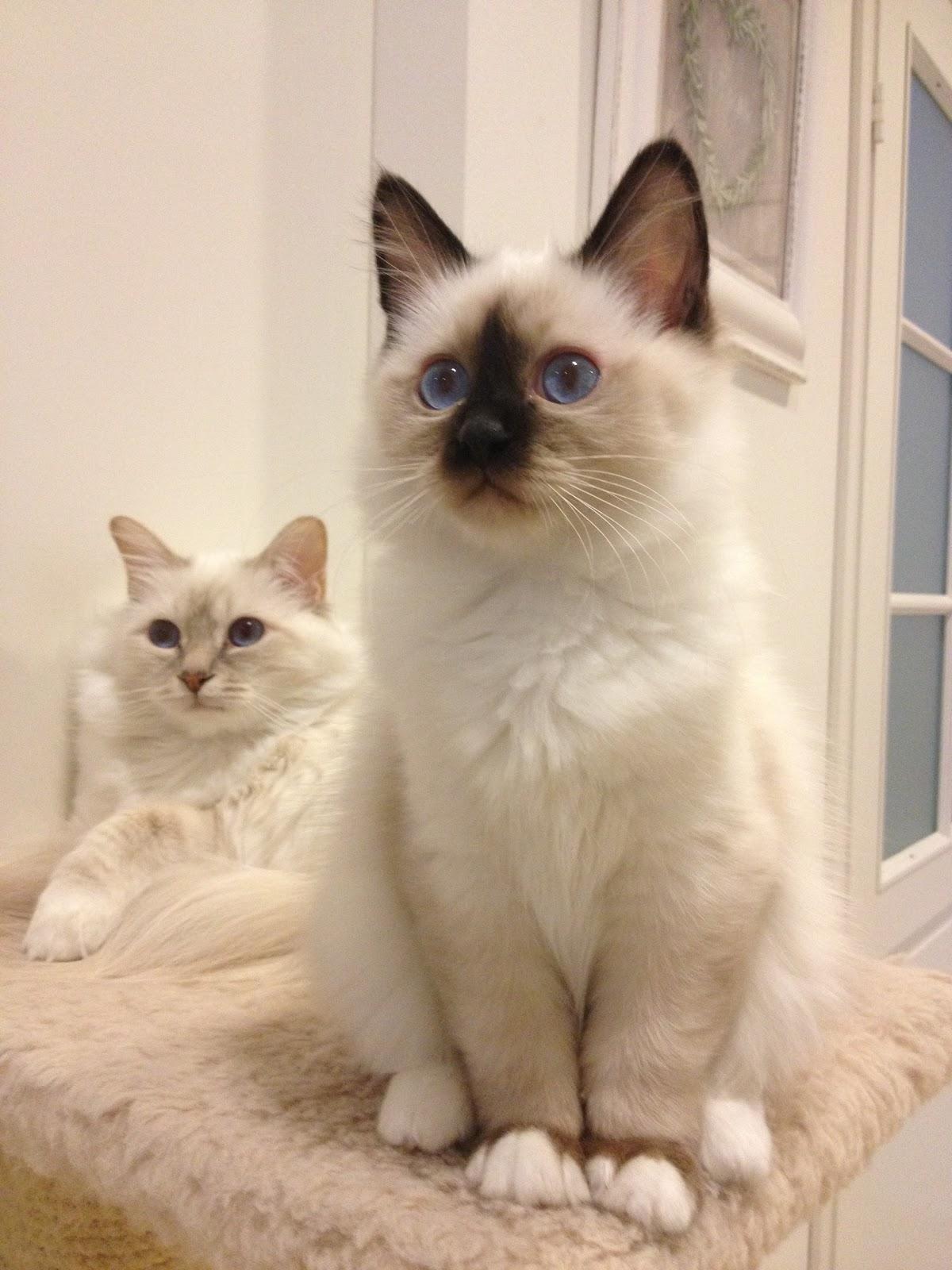 Pyhä birmat Taika ja Toivo. Sacred birman cats