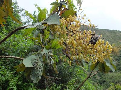 Bocconia integrifolia - Near Colpa Lodge