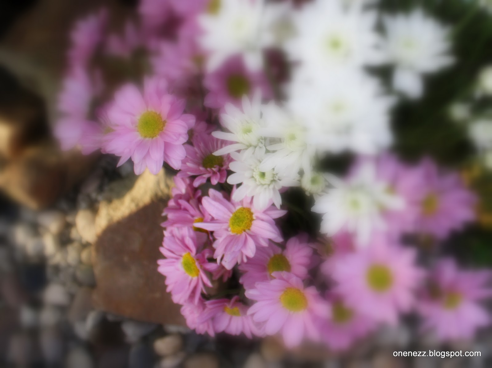 Onenezz Meaning Of Chrysanthemum