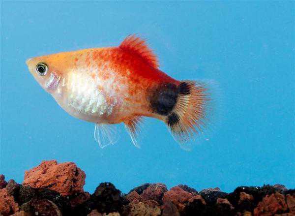 INTI SARI: Yuks Pelihara Ikan Hias Air Tawar di Aquarium