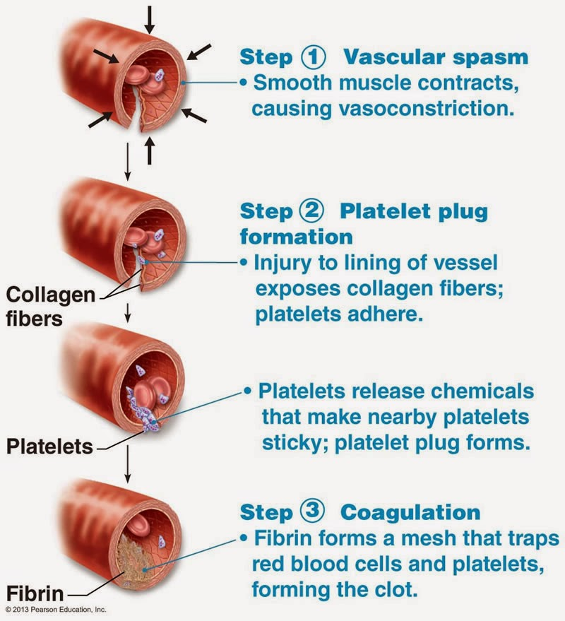 10 Step Process of Platelet Formation