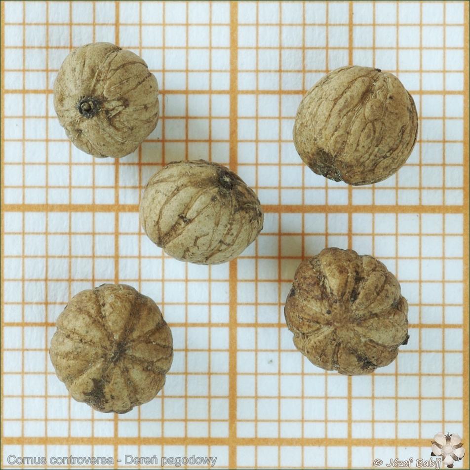 Cornus controversa seeds - Dereń pagodowy nasiona