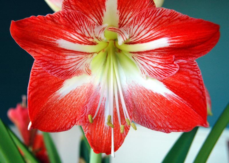 Flowers and meanings amaryllis flower picture and meaning for Amaryllis rouge signification