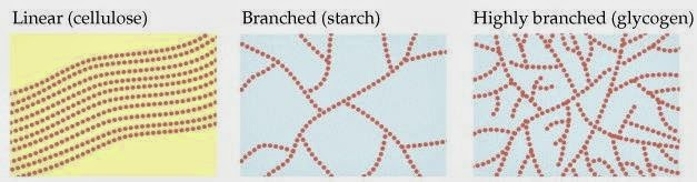 starch glycogen and cellulose Starch: is a polysaccharide, found in many plants in the form of small grains large amounts of starch occur in seeds and storage organs major source of energy.
