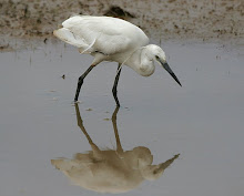 Little Egret_2011