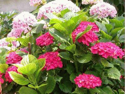 La huella de mi sendero hortensias - Cuidado de hortensias en maceta ...