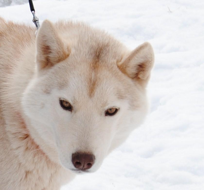 Ejemplar husky siberiano de Santsierra Siberians
