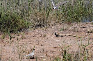 Culebra bastarda  (Malpolon monspessulanus)  en la colonia. Montpellier snake (Malpolon monspessulanus) in the colony.