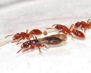 Workers and female reproductive of Centromyrmex feae