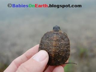 Baby Wood Turtle