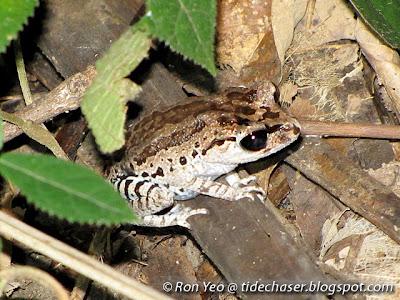 Black-eyed Litter Frog (Leptobrachium nigrops)