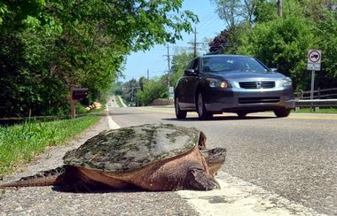 This Blogger Supports Turtle Road Rescue & Conservation Efforts