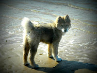 dog on beach, yoshi,
