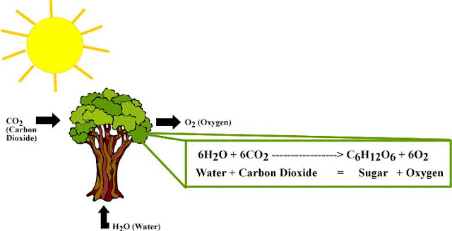 Pengertian Fotosintesis dan Tempat Terjadinya Proses Reaksi Kimia Fotosintesis serta Faktor yang Mempengaruhi Proses Fotosintesis pada Tumbuhan