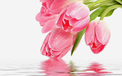 Tulipanes color rosa con hermoso reflejo, wallpapper