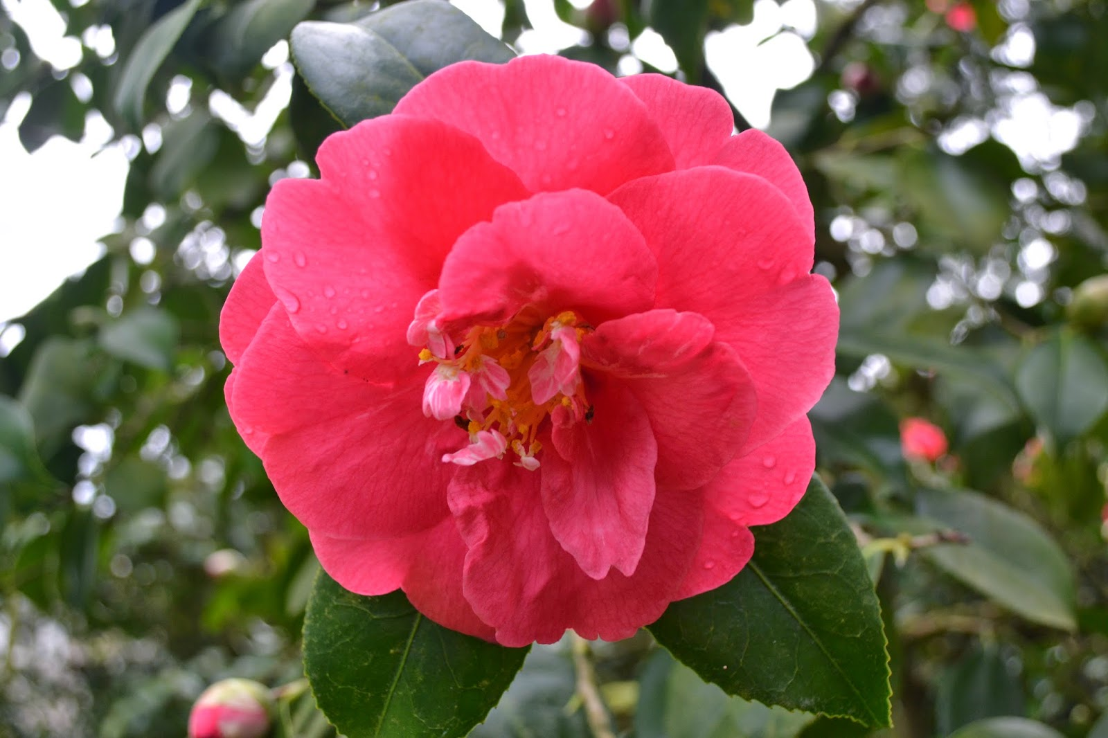 The Outlaw Gardener Camellia Japonica Is My Favorite