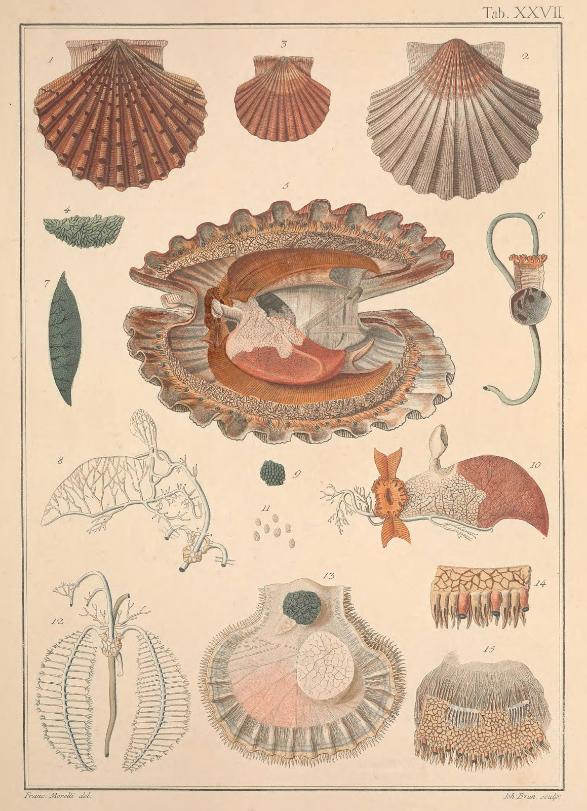 Beyond Shells The Birth Of Malacology Smithsonian Libraries Unbound