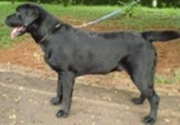 Labrador usia 7 bln