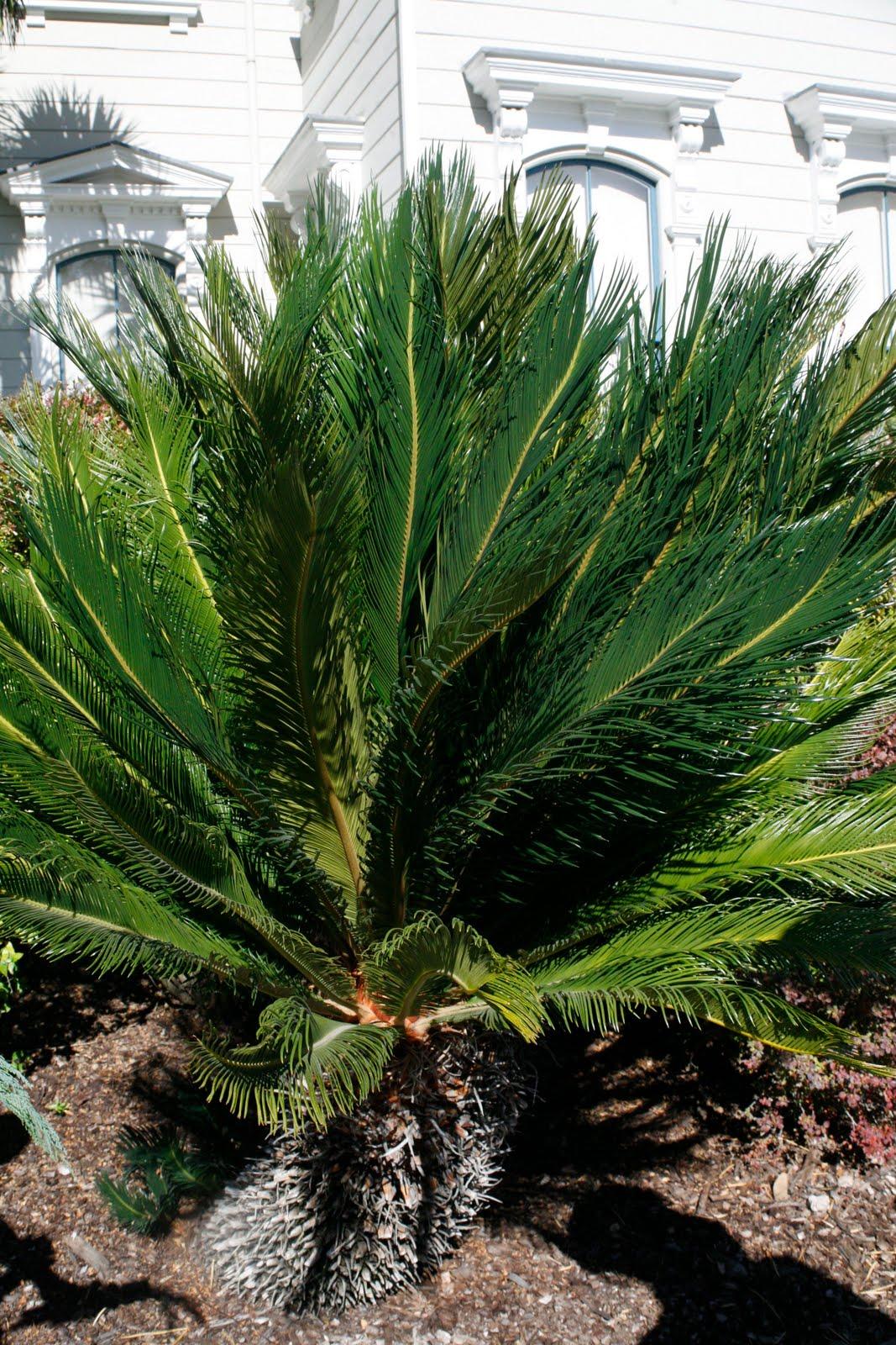 tree identification cycas revoluta sago palm. Black Bedroom Furniture Sets. Home Design Ideas