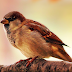 Sparrow HD Wallpaper For Mobile