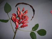 fleur de ceibo  fleur nationale d' Argentine