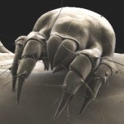 House dust mite, www.avoid-nasal-allergies.com